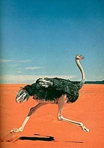 ostrich_run_0.jpg